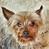Bella Boo (Helen Orozco) Tags: sliderssunday hss bella yorkie snapseed portrait