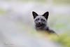 Best Of 2017 (Megan Lorenz) Tags: silverfox fox foxkit babyanimals animal mammal redfox vulpesvulpes melanistic nature wildlife wild wildanimals travel 2017 newfoundland canada mlorenz meganlorenz