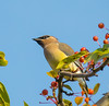Stop over. (Omygodtom) Tags: red cederwaxwing bird wildlife wild yahoo yellow green 7dwf coth5 nikon70300mmvrlens nikkor nature nikon contrast blue colorful migrate natural ngc usgs