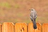 Northern Mockingbird (deanrr) Tags: northernmockingbird mockingbird 2017 morgancountyalabama alabama alabamanature fence feathers bird bokeh