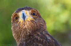 Watchful eye... (Glenn van Windt) Tags: parabuteounicinctus harrisshawk woestijnbuizerd aves bird vogel birdofprey roofvogel raptor hawk buizerd portrait portret nature natuur canonef300mmf28lisusm