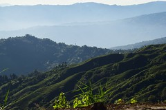 1 Towards Darjeeling by train (victoriaei) Tags: india asia autumn gorkhaland green october outdoors darjeelingdistrict darjeelinghimalayanrailway nikon nature d5300 teagarden tea view hills dhr 2016