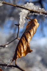 Leaf & Ice