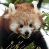 red panda Blijdorp BB2A1101 (j.a.kok) Tags: panda redpanda rodepanda kleinepanda china asia azie animal blijdorp mammal zoogdier dier