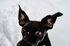 _DSC4163 (nclem93) Tags: snow lily berkshires chihuahua minipin pinscher winter snowing holidays christmas vacation brown eyes bat ears