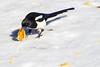 Durango 2016 (LilTexican) Tags: bird magpie lifelist