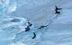 Sea Lions at Play (Ranbo (Randy Baumhover)) Tags: oregon oregoncoast pacificocean heceta hwy101 sealion