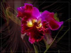 Kew Gardens Orchid (Bobinstow2010) Tags: topaz photoshop plant kew london greenhouse tropical arty black background
