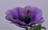"""And another Anemone coronaria """"De Caen"""" (A.J. Boonstra) Tags: anemoon decaen anemone canon canoneos canon70d ef100mmf28lmacroisusm falconeyesskk2150d falconeyes jinbeidiffusionjumboumbrella jinbei falconeyeswhiteumbrella eefde closeup"""