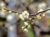 梅花Plum blossom (游萬國) Tags: 梅花 白 plumblossom