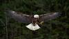 Eagle - Canadian Raptor Conservancy (Rich Parkinson) Tags: nikon nikond810 d810 nikkor70200mmf28gedvrii canadianraptorconservancy crc bird birdinflight birdofprey captive nature eagle baldeagle