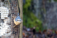 Nuthatch (Rich Jacques) Tags: wymingbrook sheffield january 2018 bird yorkshire nuthatch naturereserve nature wildlife england uk canon eos450d naturephotography