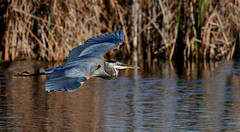 GBHinFlight2 (Rich Mayer Photography) Tags: avian bird birds great blue heron herons nature wild life wildlife animal animals fly flying flight nikon
