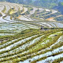 Su Pan terraces walkers - Camiñantes das terrazas de Su Pan (Gato M) Tags: vietnam sapa supan terrace arroz arrozal rice landscape paisaje paisaxe montaña mountain montagne