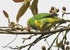 Golden-browed Chlorophonia (Chlorophonia callophrys) ♂ (Gmo_CR) Tags: chlorophoniacallophrys goldenbrowedchlorophonia clorofoniacejidorada rualdo reyderualdo costarica coronado patiodeagua macho male