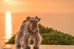 Sunset Time, Miraflores (Geraint Rowland Photography) Tags: dog doggy puppy cute animal animalportrait dogportrait dogs dogsofinstagram sunsettime miraflores sunset settingsun summer wwwgeraintrowlandcouk sunsetsoflima capitaloflima peruvian nature travel sigmaartseries canon5d4 geraintrowlandphotography cuteness