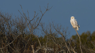 Snowy Owls of New Jersey | 2017 - 14