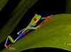 FirstRedEye3 (TRAdamson Photography) Tags: costarica costa rica rainforests travel centralamerica puravida frog frogs amphibians tropicalfrogs redeyedtreefrog treefrog treefrogs red redeyed eyes herping herpetology herps costaricanherps costaricanrainforests