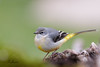 Bergeronnette des ruisseaux (sfrancois73) Tags: oiseau faune jardin drinkstation bergeronnettedesruisseaux