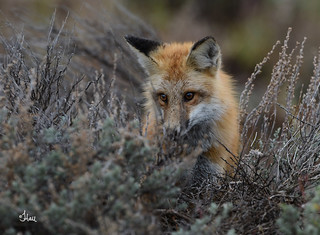 Intent - This beautiful fox was sure intent on getting a chipmunk. Going so far as to dig up the sagebrush and trying to chase it up a tree. And don't you love his/her eyes! - 1369b