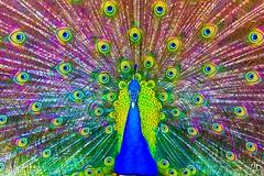 Hypnotisé ! (alain_did) Tags: paon nature hypnose couleur beauté paonbleu yeux