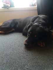 Black beauty...  Venus the Rottie #rottweiler (dezyward) Tags: rottweiler