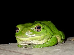 Big Green Frog (trumpygirl) Tags: frogs amphibians australianfauna coldblooded centralqueensland capricorncoast queensland australia