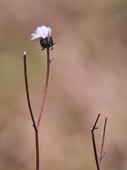 December minimalism (Petr Horak) Tags: novýknín středočeskýkraj czechia cze plant nature flower meadow mzuiko mzuikopro macro closeup penf depthoffield dof