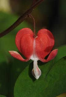 Lamprocapnos spectabilis 'Valentine'