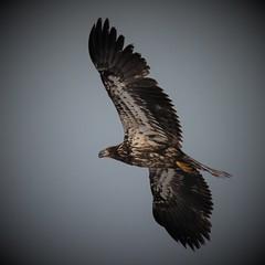 Soaring Immature Eagle (Insearchoflight) Tags: avianwonders avianbeauty immaturebaldeagle baldeagles raptors youngandinnocent movealong cuckoldscove waynenorman insearchoflight stjohnsnl newfoundlandandlabrador