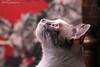 Amazing lights (Gabriel Paladino Photography) Tags: cat gato eyes reflection reflejo staring felino observar christmas lights eye pet mascota canon 77d sigma 150600 contemporary
