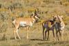 Keeping an eye out (ChicagoBob46) Tags: pronghornantelope antelope buck doe yellowstone yellowstonenationalpark nature wildlife ngc coth5 npc