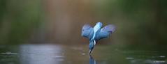 Kingfisher dive-1373 (Theo Locher) Tags: ijsvogel kingfisher eisvogel martinpecheur alcedoatthis birds vogels vogel oiseaux netherlands nederland copyrighttheolocher