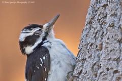 Hairy Woodpecker 17-3481 (Hans Spiecker Photography) Tags: california chilaovisitorcenter hairywoodpecker