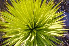 Joshua 2 (dwblakey) Tags: california desert plants outdoors mojavedesert inyocounty joshuatrees joshuaflats pipermountianwilderness bigpine unitedstates us closeup needles ouch macro green