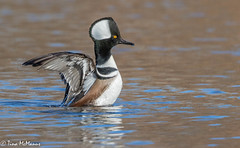 Male Hooded Merganser (NorthShoreTina) Tags: hoodedmerganser merganser duck divingduck