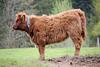 Watch Out (Rolf-Schweizer) Tags: scottishcow cow animalphotography animal rolfschweizerfotografie rolfschweizer thechurchofjesuschristoflatterdaysaints toggenburg canon creative bauernverband bauer schweiz swiss switzerland