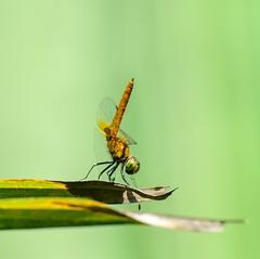 Aethriamanta brevipennis - young male. (sreejithkallethu) Tags: dragonfliesofkerala neeravil dragonfliesofneeravil kollam kerala aethriamantabrevipennisyoungmale