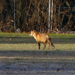 Red Fox thumbnail