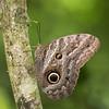 Owl Butterfly (Tris Enticknap) Tags: owlbutterfly butterfly insects familynamenymphalidae speciesunknown manunationalpark amazonbasin manubiospherereserve