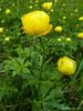 Trollius europaeus (Nelleke C) Tags: 2017 coldecarri europesetrollius france frankrijk globeflower vercors alpenweide alpinemeadow damp flora holiday ranunculaceae trolliuseuropaeus vakantie vochtig