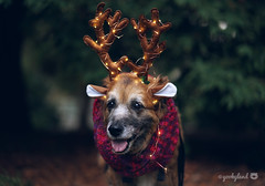51/52 - a rare reindog spotting (yookyland) Tags: 52weeksfordogs 2017 misty 5152 dog christmas holidays reindeer reindog forest lights