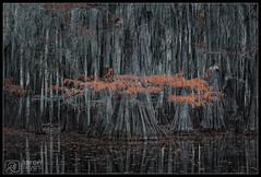 Mister Moostash [Explored] (Aaron M Photo) Tags: aaronmeyersphotography bald baldcypress bayou bigcypress cypress d800 nikon nikond800 november park sunrise sunset swamps conifer kayak landscape marsh nature paddle pond river swamp tree trees unitedstates