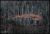 Mister Moostash (Aaron M Photo) Tags: aaronmeyersphotography bald baldcypress bayou bigcypress cypress d800 nikon nikond800 november park sunrise sunset swamps conifer kayak landscape marsh nature paddle pond river swamp tree trees unitedstates