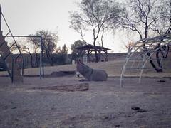 donkeys sleeping in the park on christmas morning (EllenJo) Tags: clarkdaleburros donkeys burros christmasmorning clarkdale az arizona ellenjo pentaxqs1 sleeping layingdown junglegym