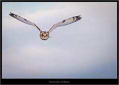 Hibou des marais | Asio flammeus (romain-dreux-photo) Tags: asioflammeus canada hiboubrachyote hiboudesmarais quèbec shortearedowl strigidae strigidés birds nature