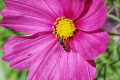 Cosmos visitor (crafty1tutu (Ann)) Tags: macro flower cosmos pink insect hoverfly garden mygarden inmygarden colourful crafty1tutu canon7dmkii canonefs60mm28macrolens anncameron bright naturethroughthelens