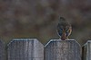Happy  Fence Friday (bird i.d. help needed) (deanrr) Tags: bird outdoor nature sparrow fence happy friday bokeh hermitthrush thrush wood backyardbird whiteeyering