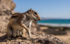 Barbary Ground Squirrel (Wouter's Wildlife Photography) Tags: barbarygroundsquirrel groundsquirrel squirrel mammal animal nature naturephotography wildlife wildlifephotography atlantoxerusgetulus canaryislands wideangle
