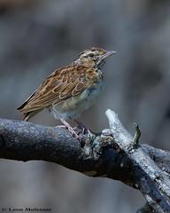 Sabota Lark (leendert3) Tags: leonmolenaar krugernationalpark southafrica wildlife nature birds sabotalark ngc npc